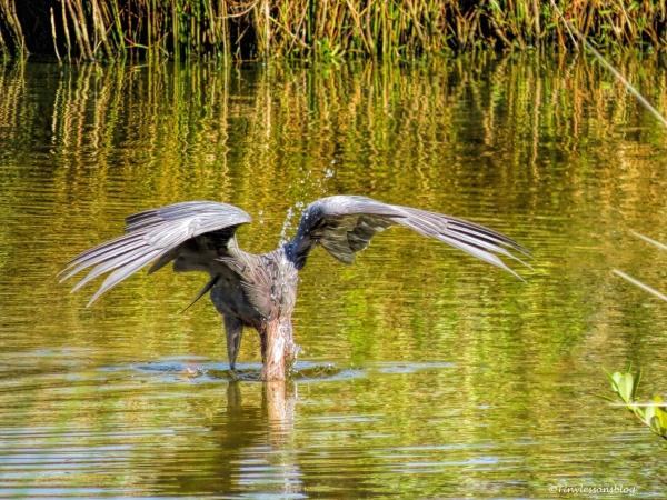reddish egret fishing ud67