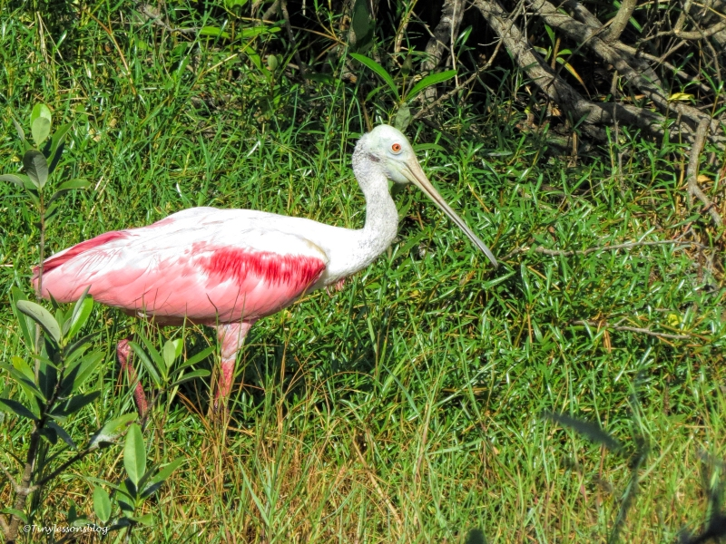 roseate spoonbill ud69