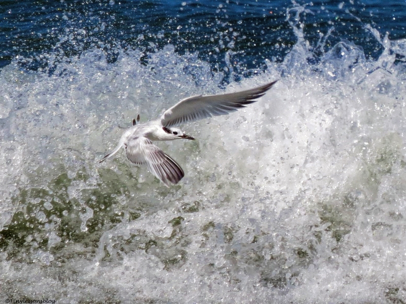sandwich tern flying in the surf in ud67