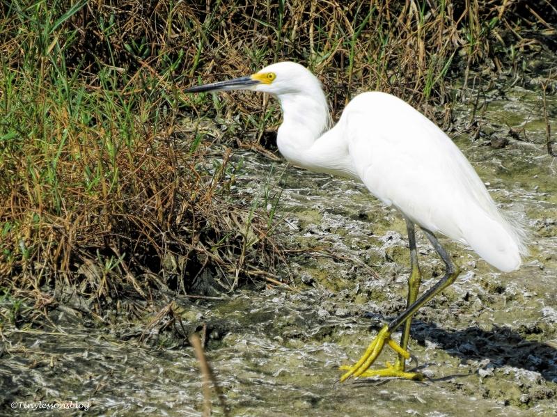 snowy egret 2 ud69