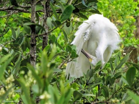 snowy egret preening ud66