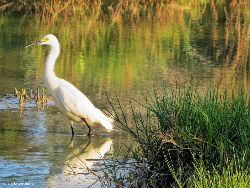 snowy egret ud63