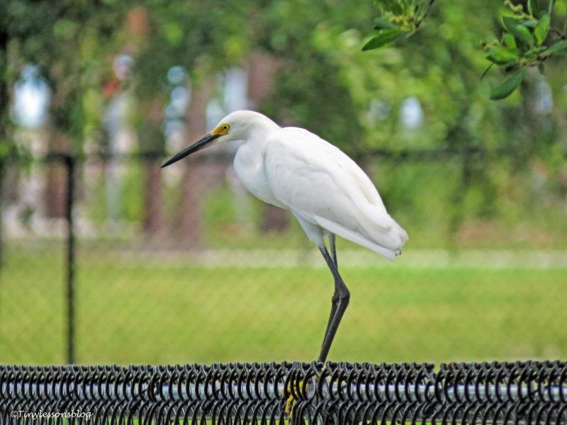 snowy egret ud65