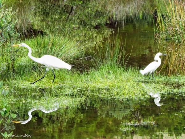 two egrets 2 ud66