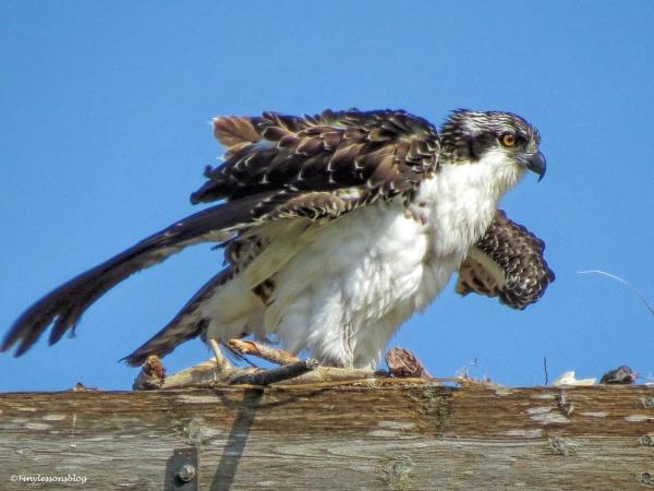 wet osprey chick ud67