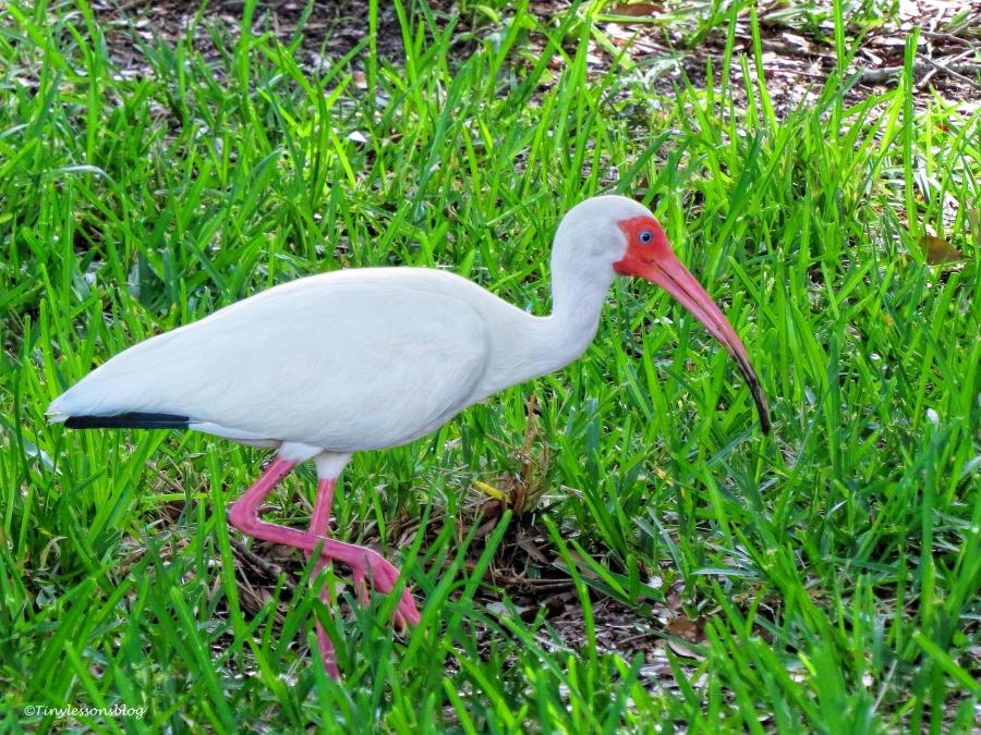 white ibis ud64