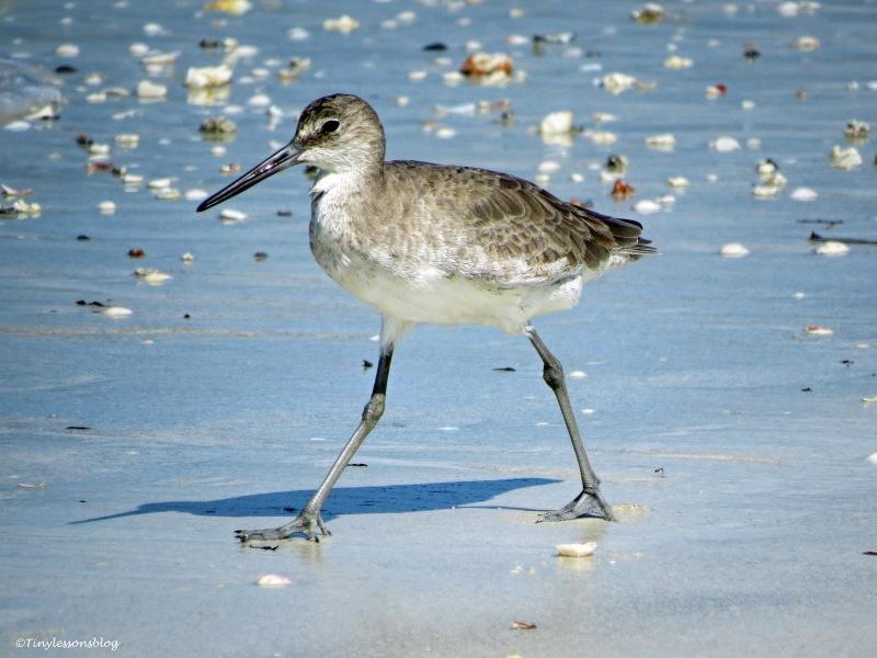 Willet shore bird