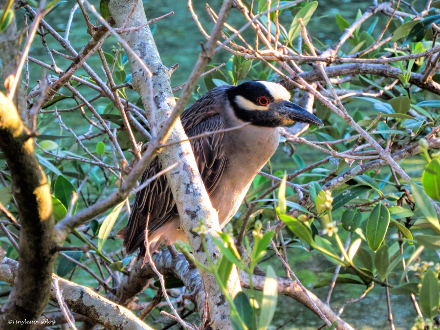 yellow-crowned night heron UD 64