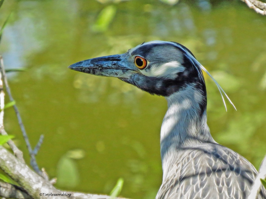 yellow-crowned night heron ud69