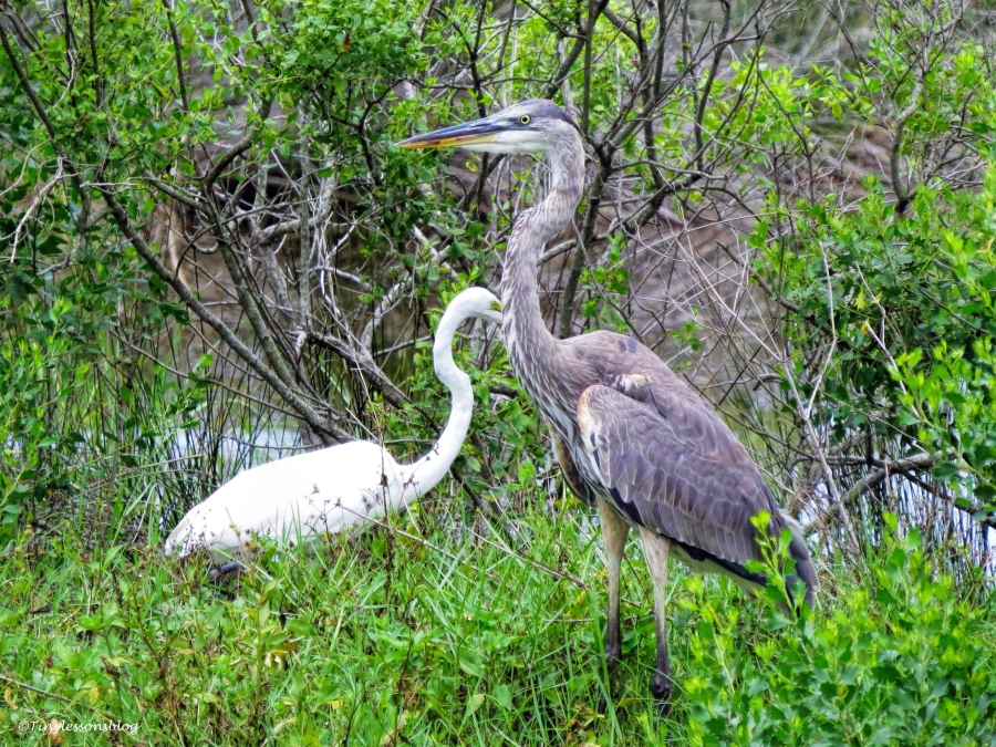 young great blue heron and great egret UD66