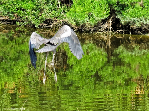 young great blue heron flies away ud67