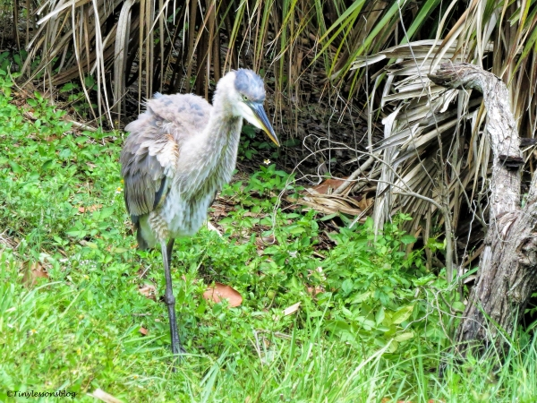 young great blue heron ud65
