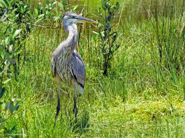 young great blue heron ud66