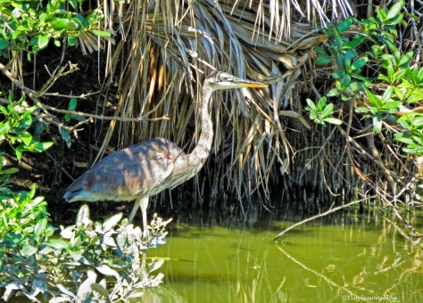 young great blue heron ud69