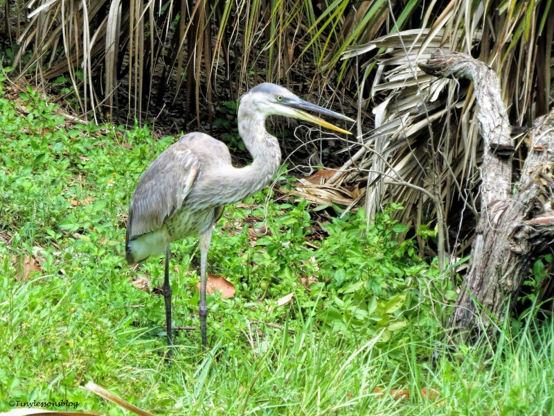 younger great blue heron ud65.jpg