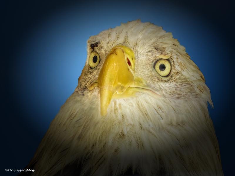 american eagle ud70
