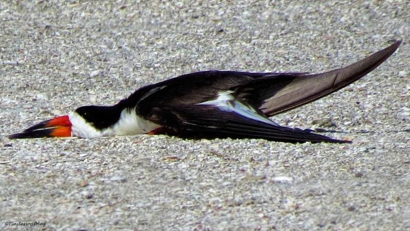 black skimmer sleeping ud73