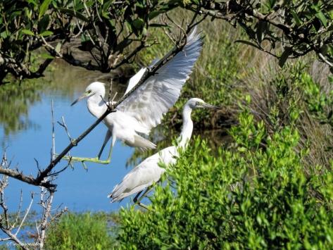 Egret landing ud72