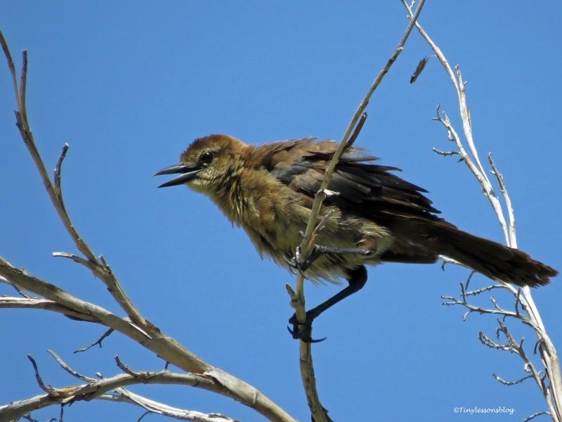 female brown-headed cowbird ud73