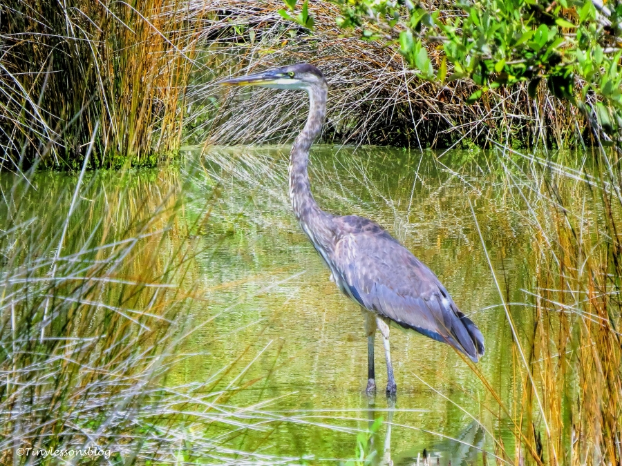 Great blue heron Mayor ud71