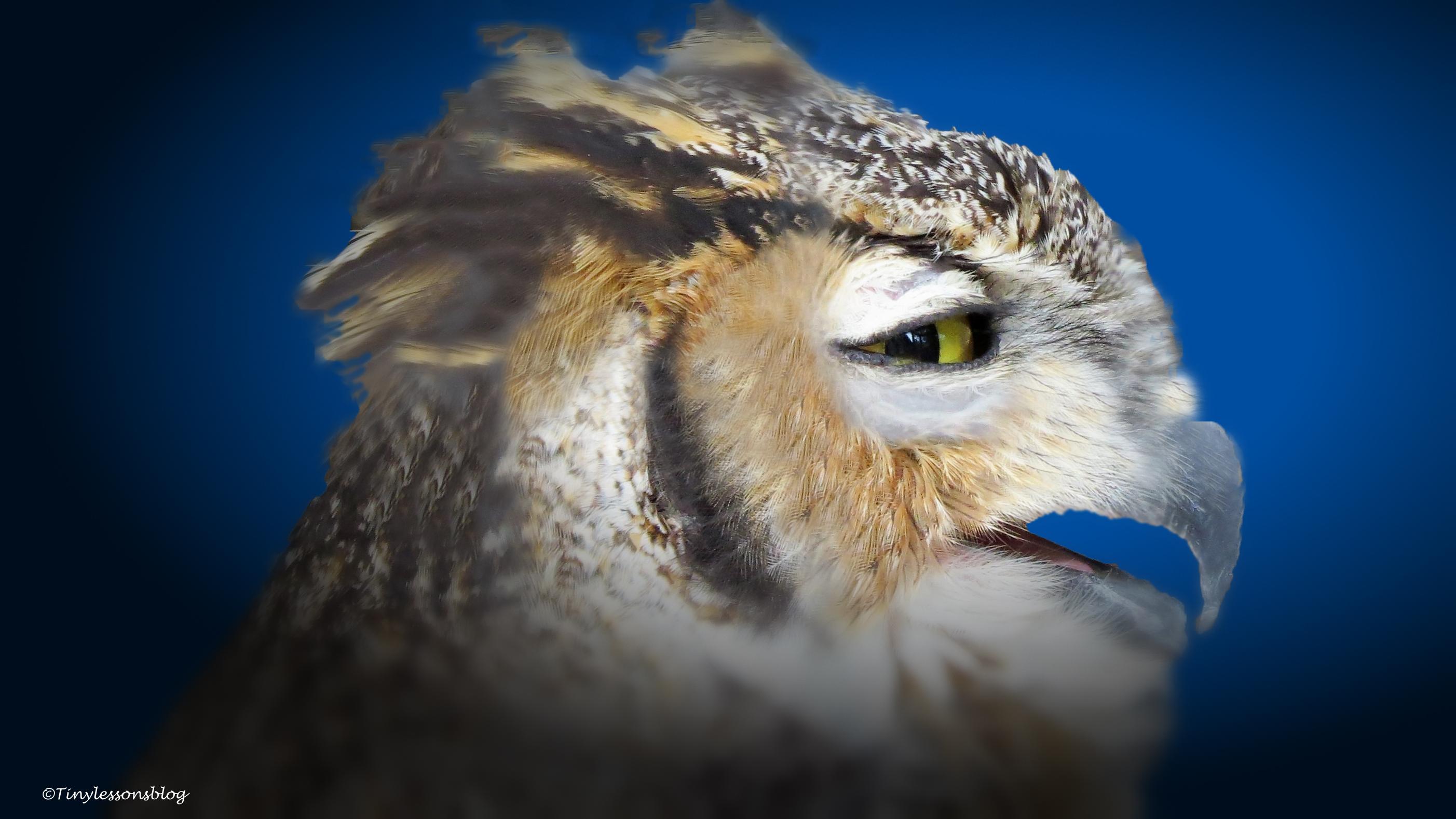 great-jorned owl ud70