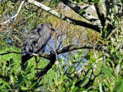 Juvenile Black-cowned Night Heron