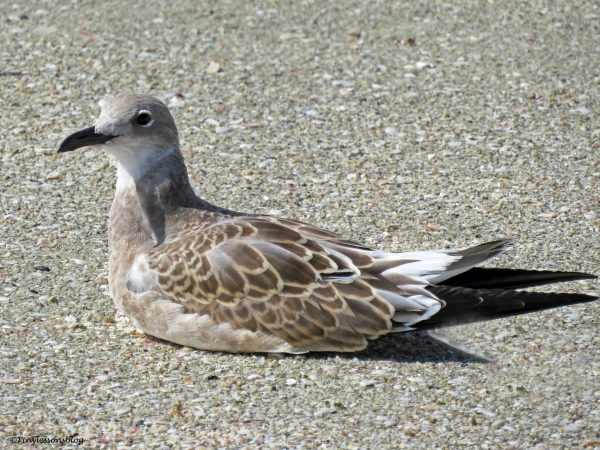 juvenile gull ud73
