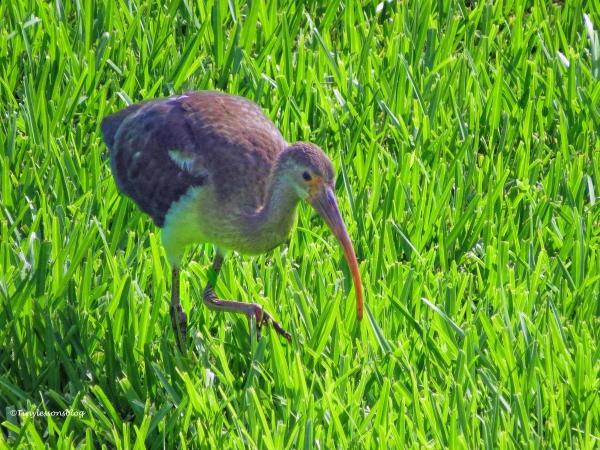Juvenile ibis ud73