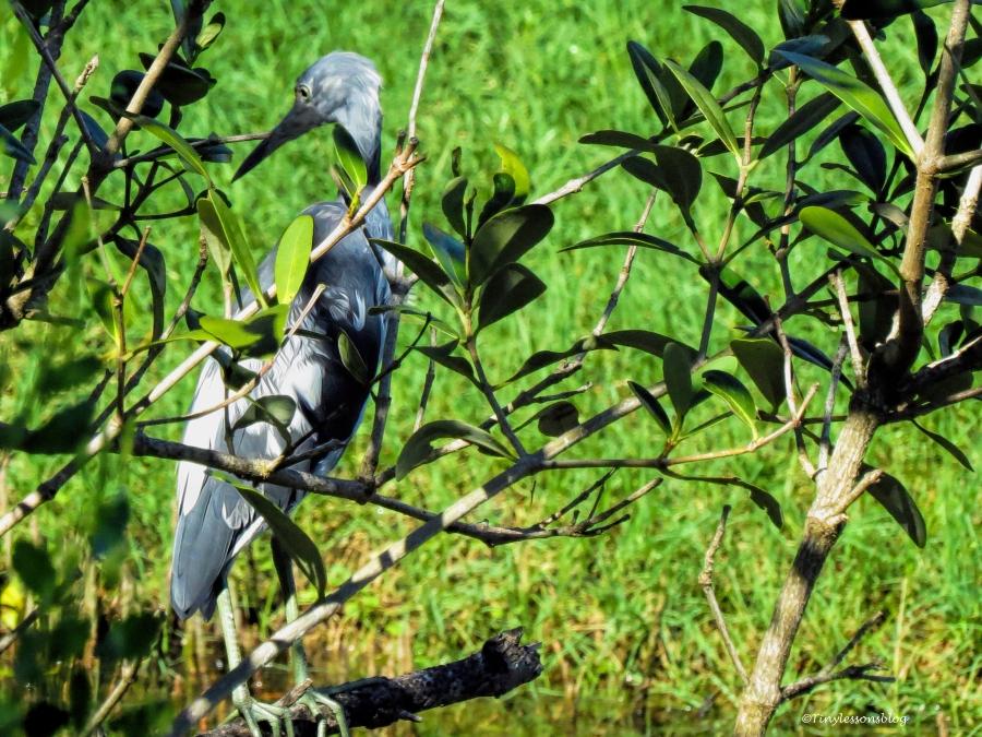 Little Blue Heron UD72