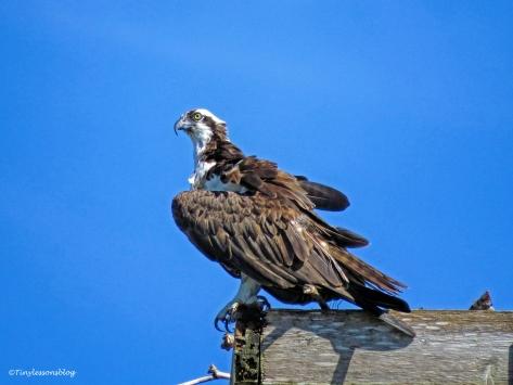mama osprey at the nest ud72.jpg