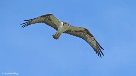 Mama osprey flies by UD72