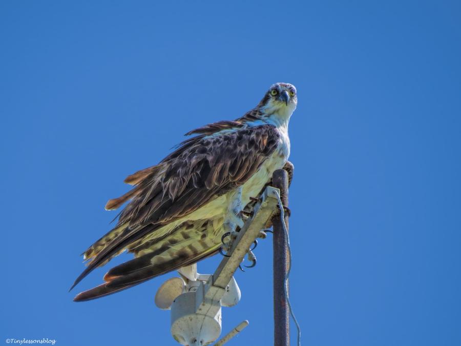 papa osprey ud73