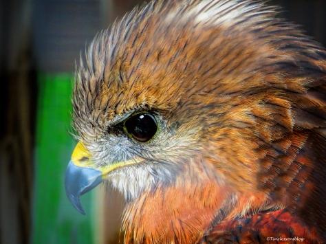 red-shouldered hawk ud70