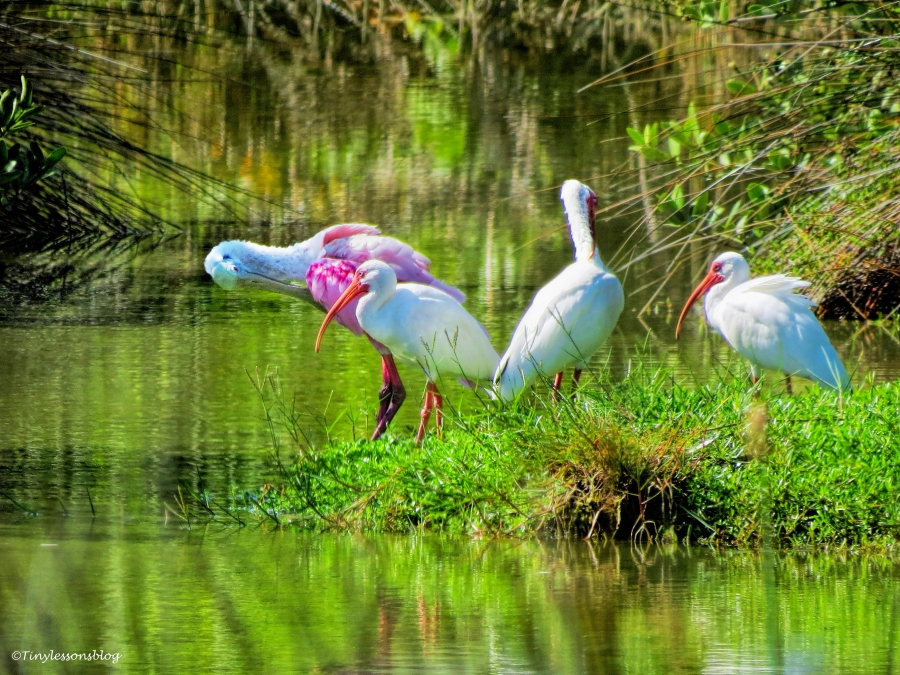 roeate spoonbill and white ibis ud72.jpg