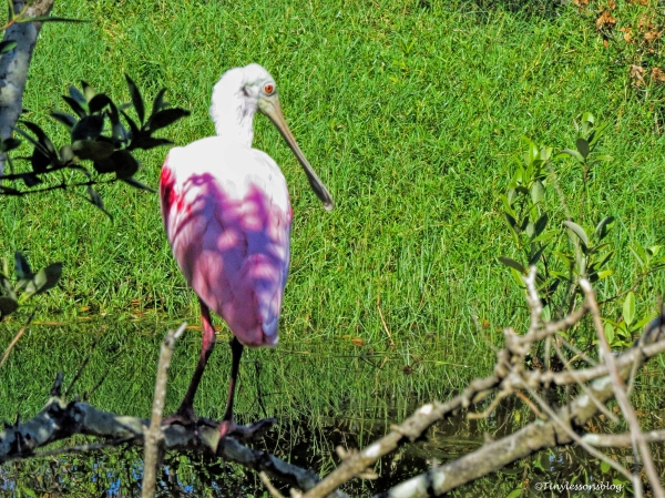 roseate spoonbill ud73