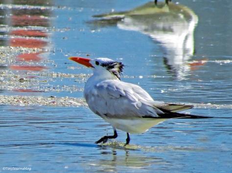 royal tern UD73