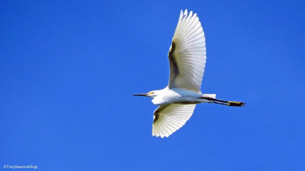 snowy egret in flight UD72