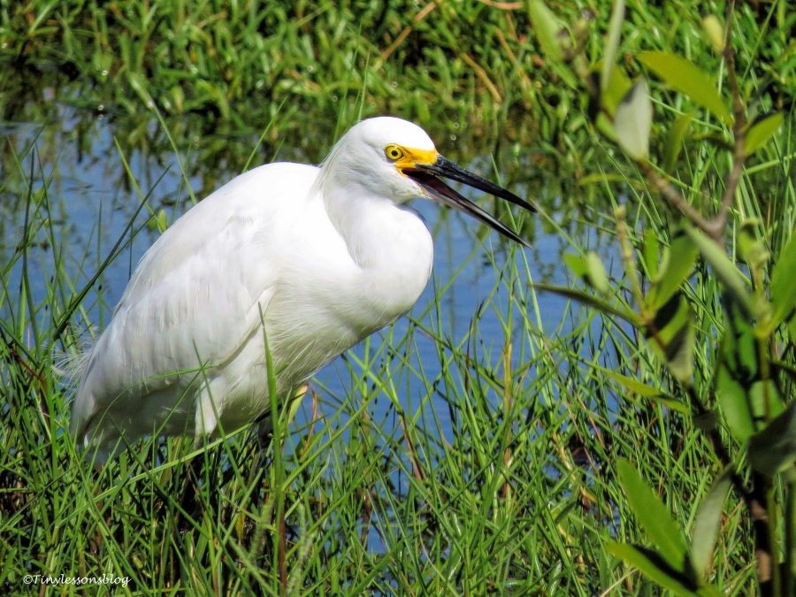 snowy egret not happy ud72