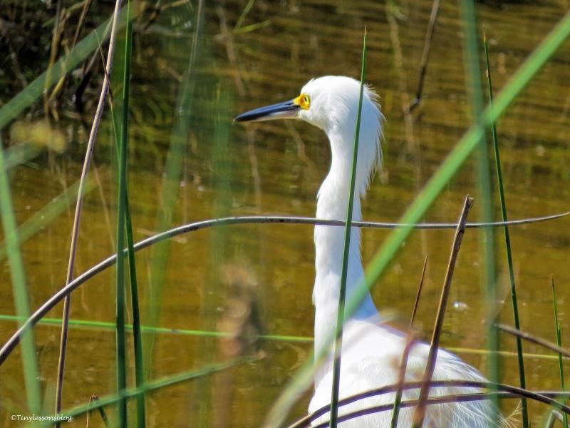 snowy egret ud72