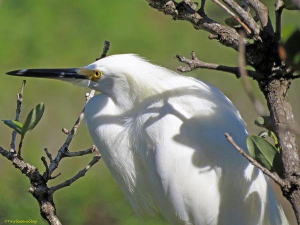 snowy egret UD73