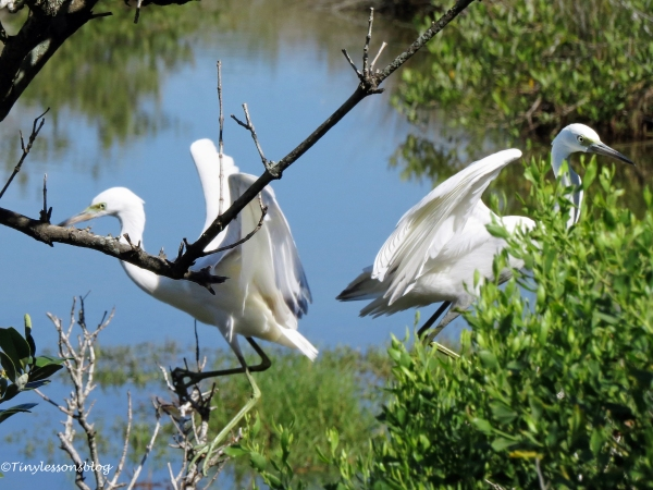 two snowy egrets ud72