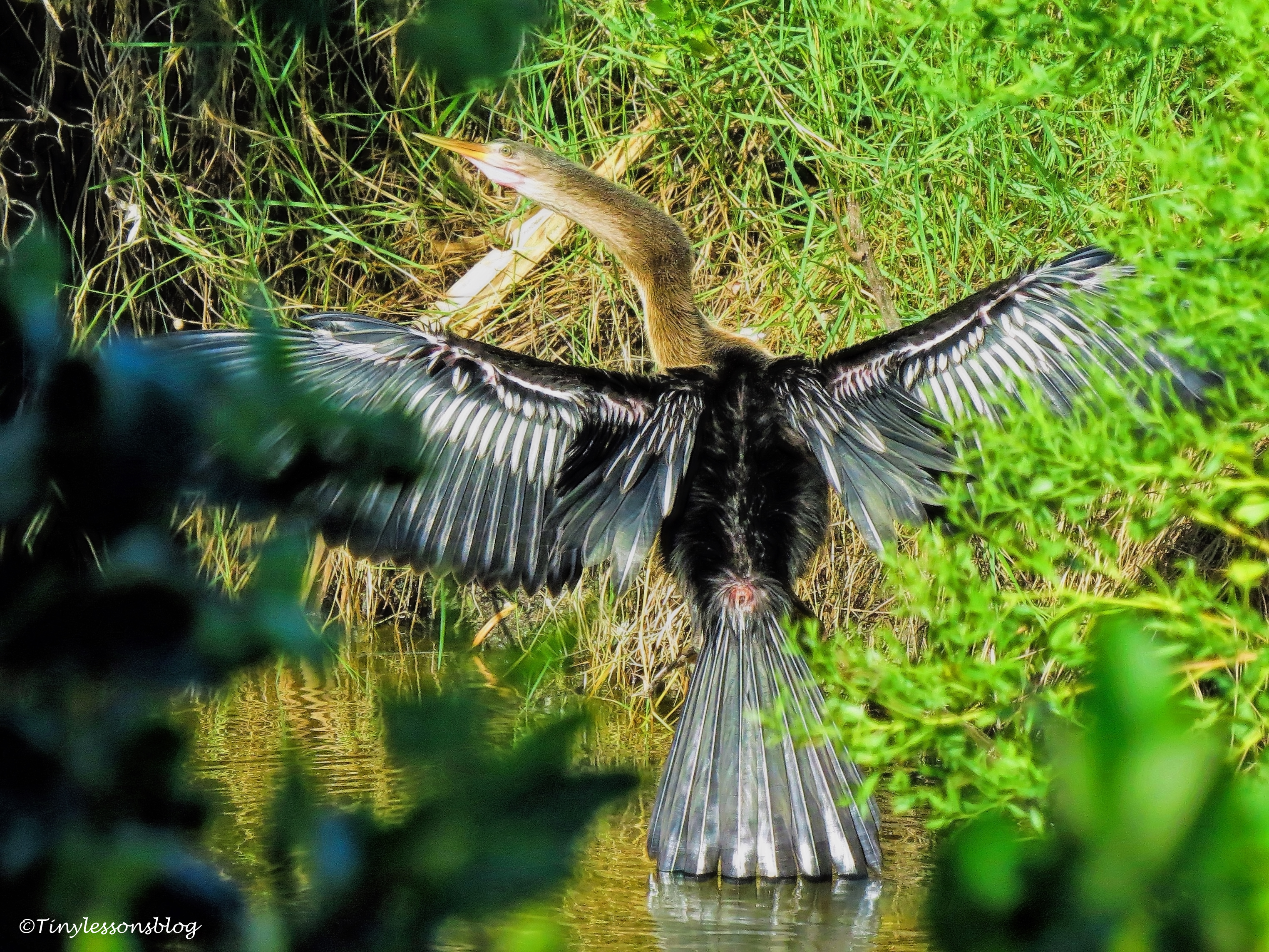 anhinga after breakfast ud76
