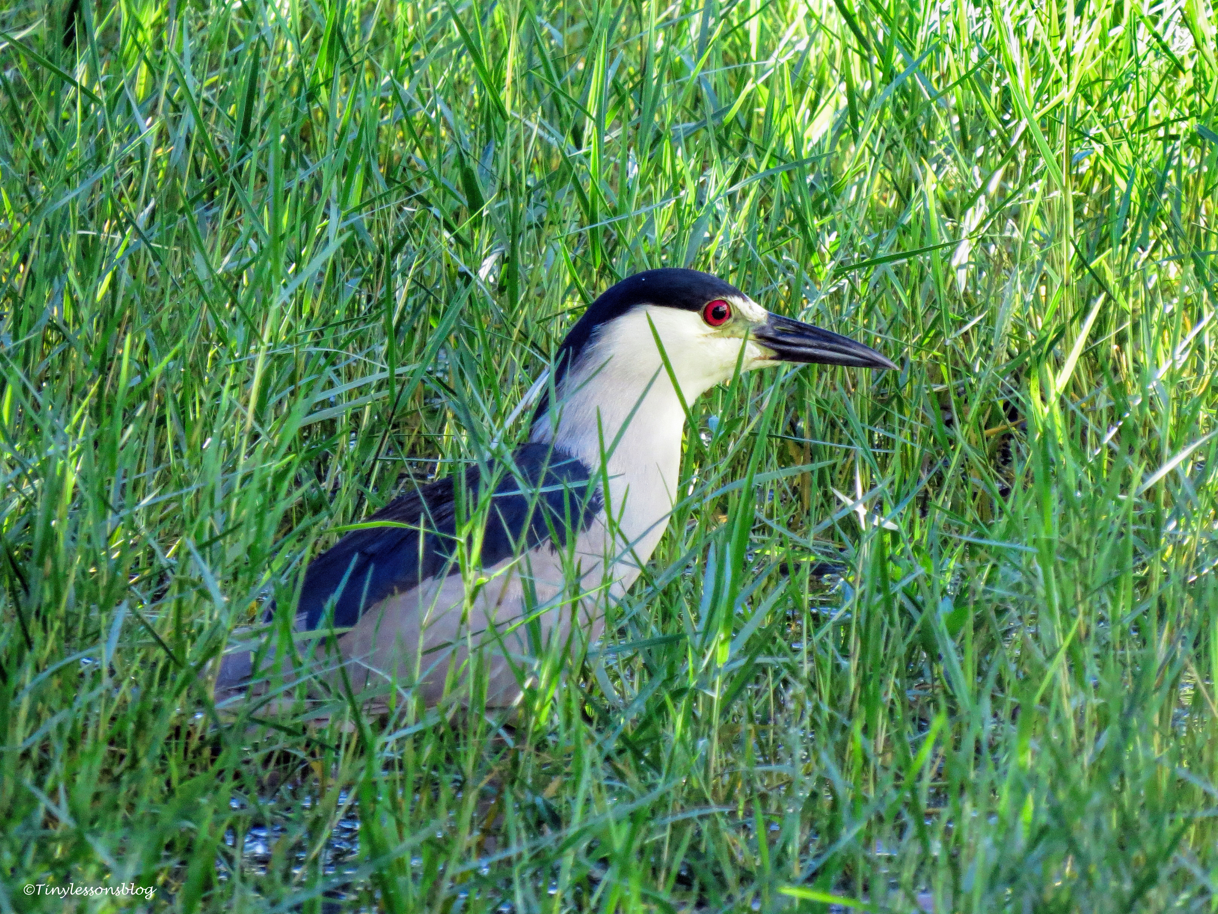 black+crowned night heron ud76
