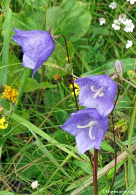 blue bells Finland Aug16 UD75