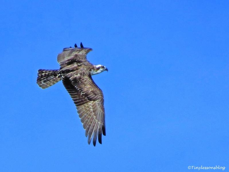 juvenile osprey over the nest ud76