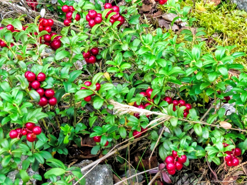 lingon berries Finland Aug16 UD75