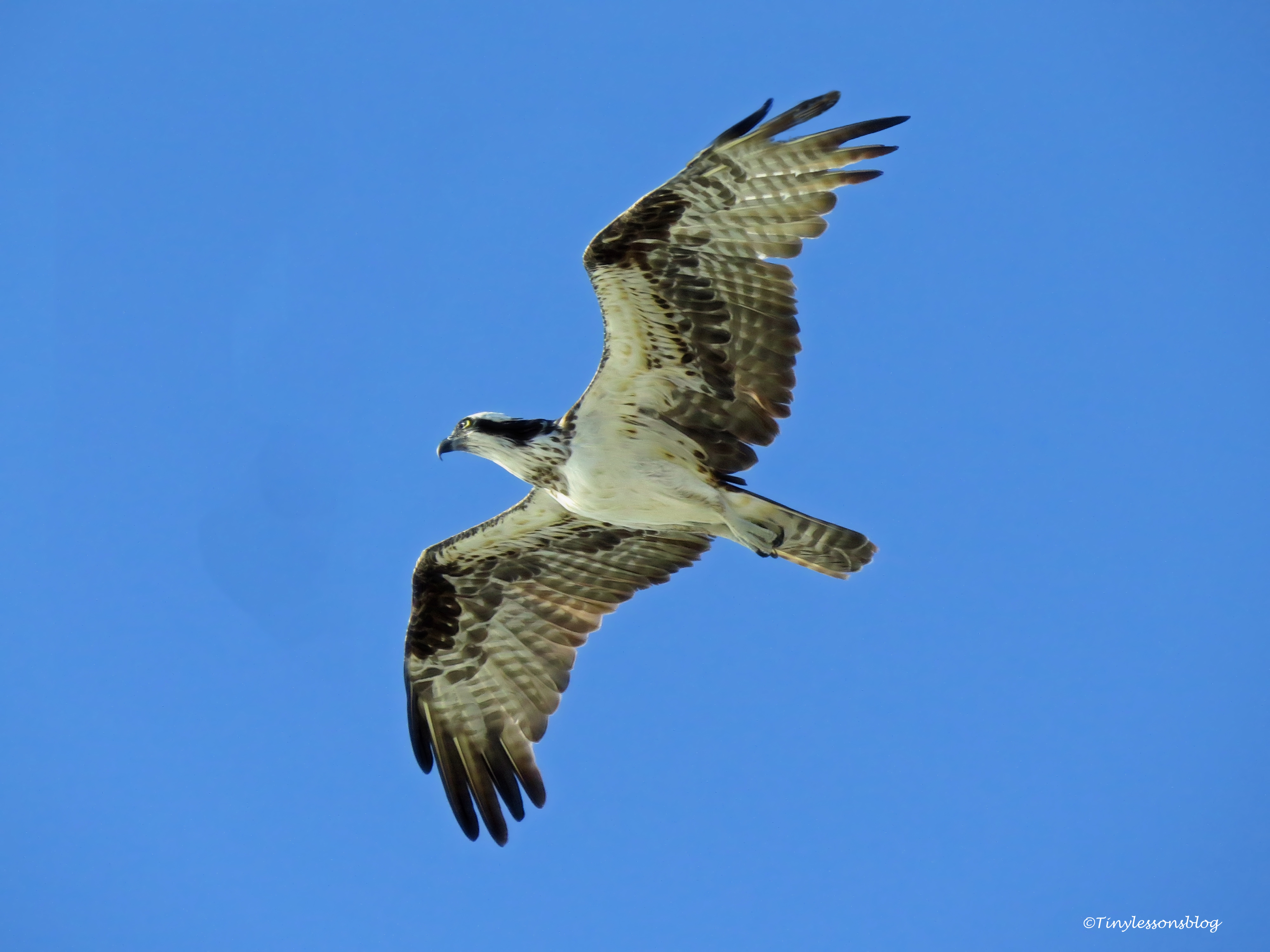 Mama osprey 2 flies over salt marsh ud76
