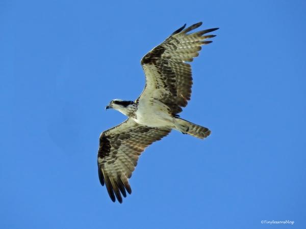 Mama osprey 2 flies over salt marsh ud76