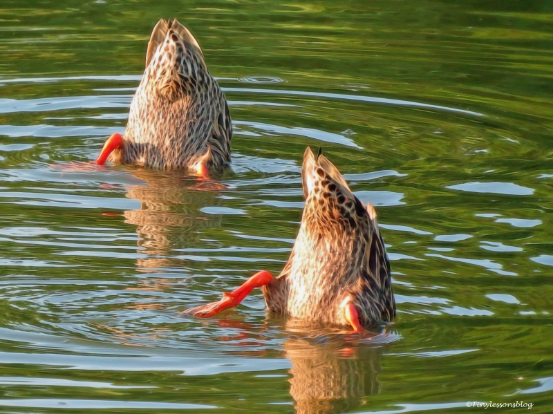 mottled ducklings diving ud76