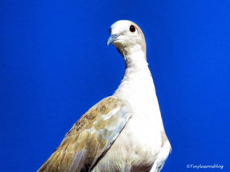 mourning dove ud76